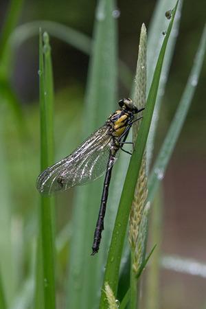 20170528kumoba-Dragonfly.jpg