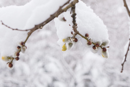 20190410kumoba-snow_nekoyanagi02.jpg