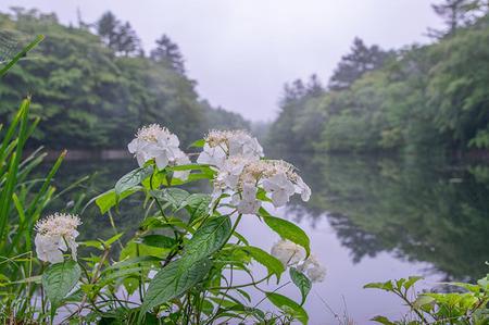 20190706kumoba-yamaajisai03.jpg