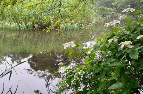 20110707yamaajisai.jpg