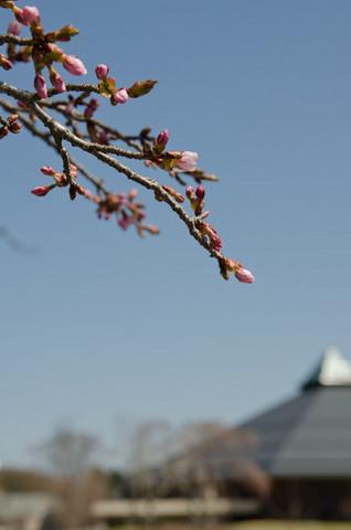 20140424矢ヶ崎公園オオヤマザクラ04.jpg