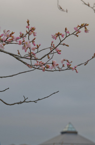 20150422yagasaki-sakura01.jpg