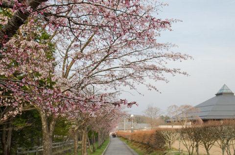 20150424yagasaki-sakura03-1720.jpg