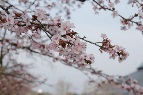 20150424yagasaki-sakura05-1720.jpg
