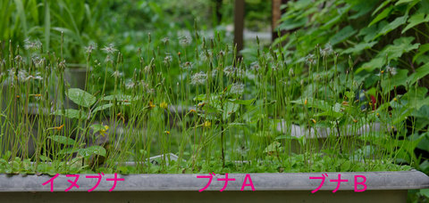 20150612buna&inubana01.jpg