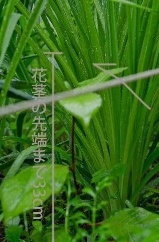 20150619yusuge_roji_kakeiA01.jpg