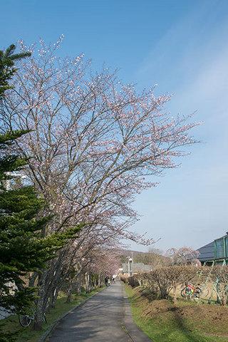 20160420yagasaki-sakura01.jpg