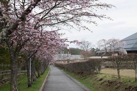 20160423yagasaki-sakura03.jpg