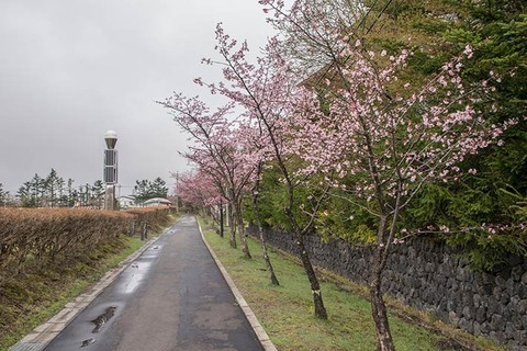 20170427yagasaki-sakura02.jpg