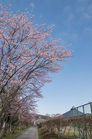 20170428yagasaki-sakura01.jpg