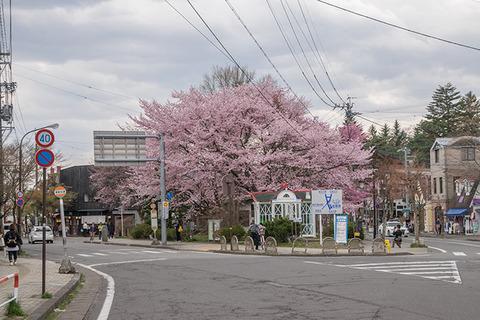 20170429kyu-karuizawa-sakura.jpg