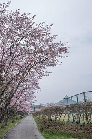20170501yagasaki-sakura01.jpg
