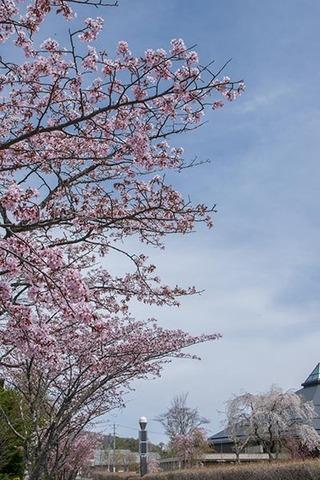 20170503yagasaki-sakura02.jpg