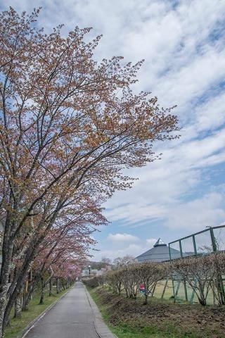 20170504yagasaki-sakura01.jpg