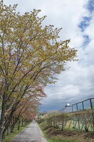 20170506yagasaki-sakura01.jpg
