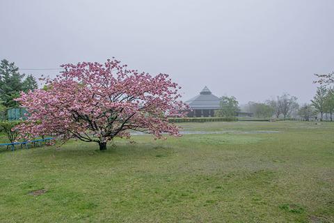 20170513yagasaki-sakura01.jpg