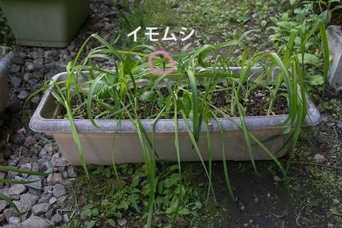 20170605yusuge_planter_?y_imomushi02.jpg