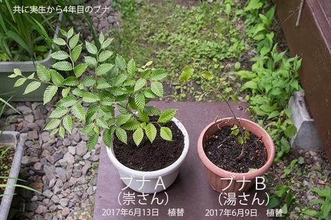 20170613bunaA&B01_4y_01.jpg