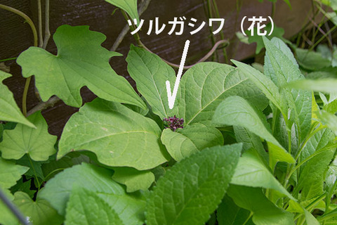 20170615midori04tsurugashiwa.jpg