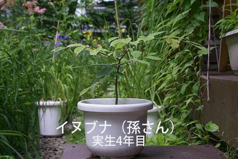 20170806inubuna_4y_son_01.jpg
