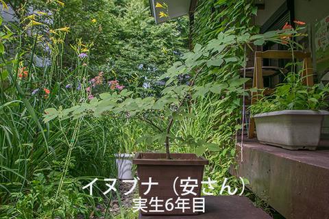 20170806inubuna_6y_an_01.jpg