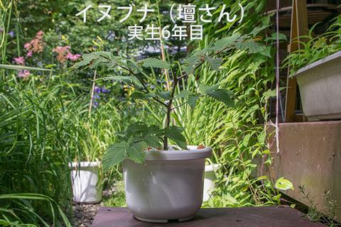 20170806inubuna_6y_dan_01.jpg