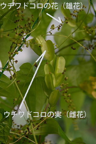 20170812midori-uchiwa02.jpg