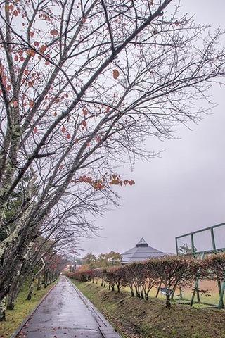 20171015yagasaki-sakura01.jpg