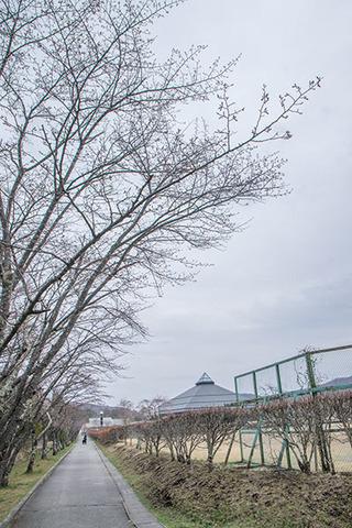 20180411yagasaki-sakura01.jpg
