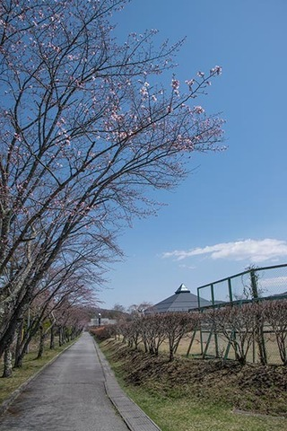 20180413yagasaki-sakura07.jpg