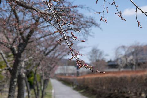 20180413yagasaki-sakura08.jpg