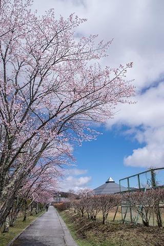 20180418yagasaki-sakura01.jpg