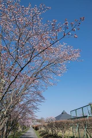 20180420yagasaki-sakura01.jpg