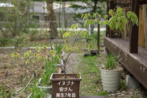 20180430inubuna_7y_an_01.jpg