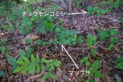 20180520matsubusa_jisei01.jpg