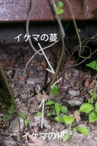 20180608midori_ikema02.jpg