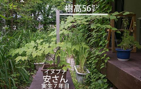 20180713inubuna_7y_an_01.jpg