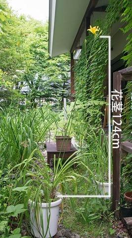 20180713yusuge_jiue01_0911_7月12日夜開花.jpg