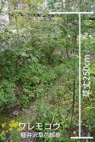 20180830waremoko_250cm_02.jpg