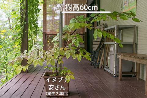20180902inubuna_7y_an_01.jpg