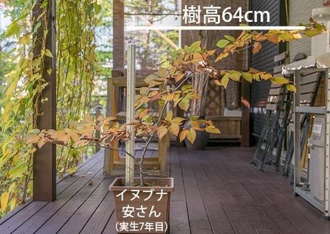 20181021inubuna7y_an_01re.jpg