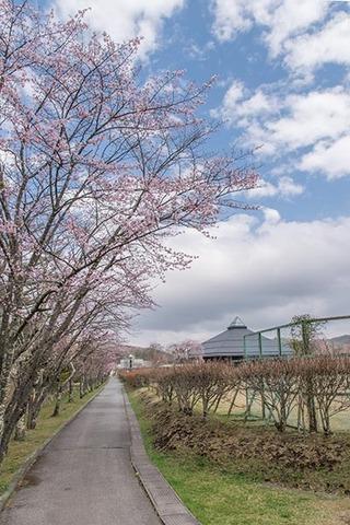 20190425yagasaki-sakura01.jpg