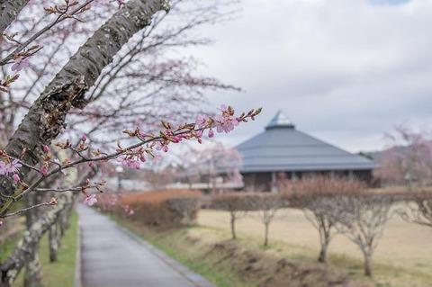20190425yagasaki-sakura02.jpg