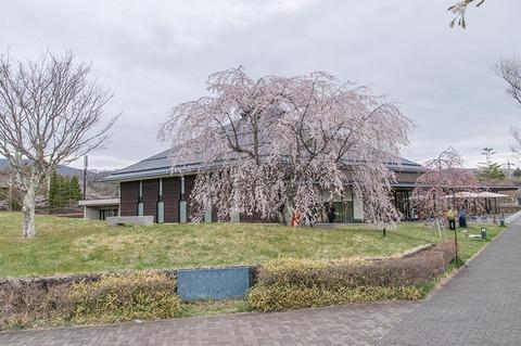 20190429yagasaki-shidare-sakuraB.jpg