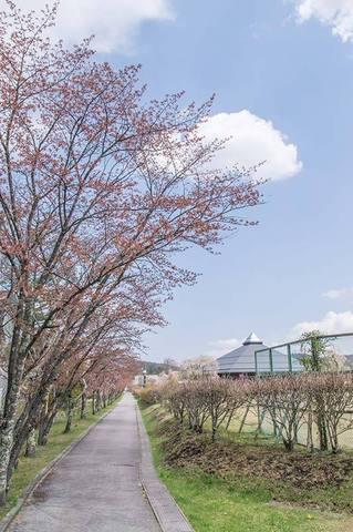 20190504yagasaki-sakura01.jpg