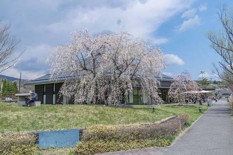 20190504yagasaki-shidare-sakuraB.jpg