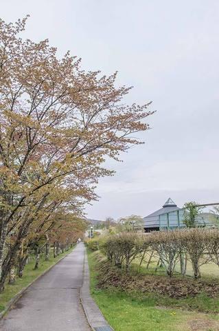 20190509yagasaki-sakura01.jpg