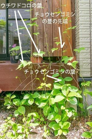 20190526midori_chosengomishi02.jpg