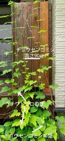 20190602midori05_chosengomishi.jpg