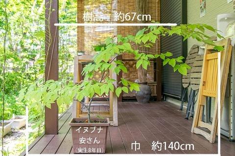 20190606inubuna8y_an_01.jpg